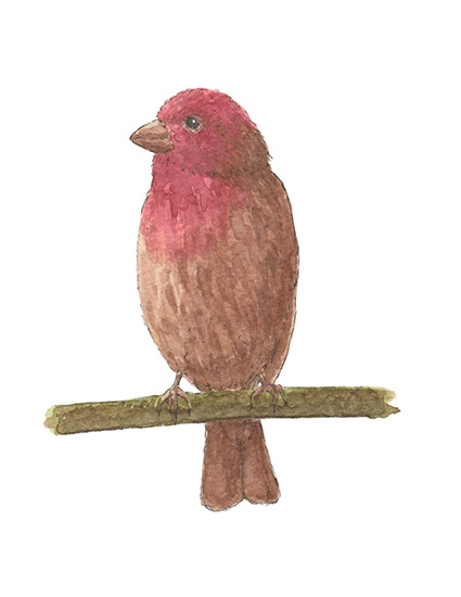 House Finch Watercolor